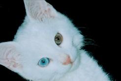 Türkische Van Katze